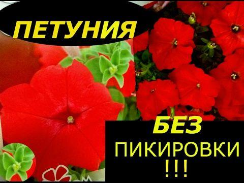 ПЕТУНИЯ БЕЗ ПИКИРОВКИ СУПЕР СПОСОБ ВЫРАЩИВАНИЯ !!! - YouTube