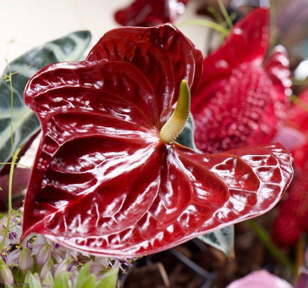 """Blumen-Beauty Anthurie.  Die Verwendung dieses Bildes ist für redaktionelle Zwecke honorarfrei. Veröffentlichung bitte unter Quellenangabe: """"Fachverband Deutscher Floristen e.V./ Blumenbüro"""