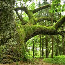 Valokuvatapetti - Mighty Oak