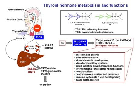 150 best thyroid gland images on pinterest thyroid gland thyroid thyroid func publicscrutiny Images