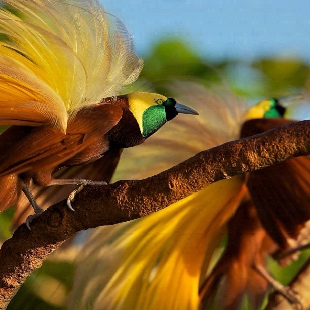 essay national bird peacock hindi