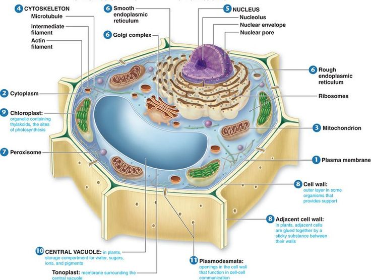 Best 25 plant cell picture ideas on pinterest picture of plant plant cell diagram ccuart Images