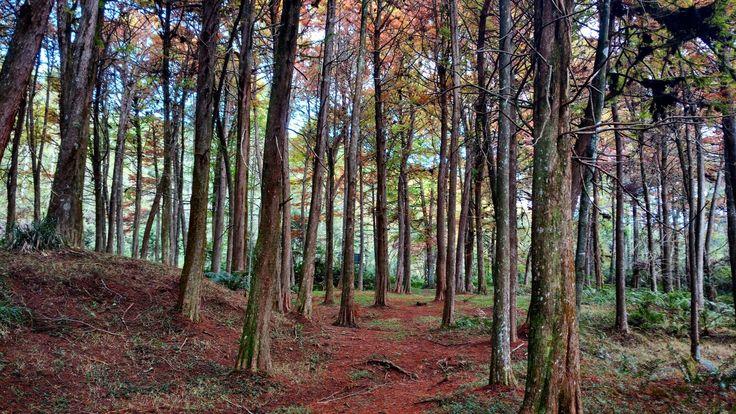 Bosque Vermelho. Horto Florestal em Campos do Jordão. Lugar inacreditável de lindo. Para pegar o bosque totalmente vermelho você deve ir extamente no meio do outono, onde as copas das árvores ficam completamente forradas de folhas vermelhas que refletem e criam uma atmosfera mágica!  Fotografia de @jeniferbritzkidesign
