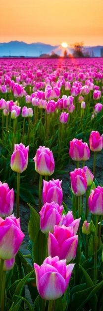 amazing field of pink tulips