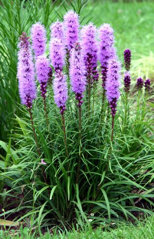 Liatris or Gayfeather/ ATTRACTS: Monarch Butterflies. Plant with Milkweed - an important host plant for the Monarch. Plant in mass plantings. Hates water. Never fertilize.