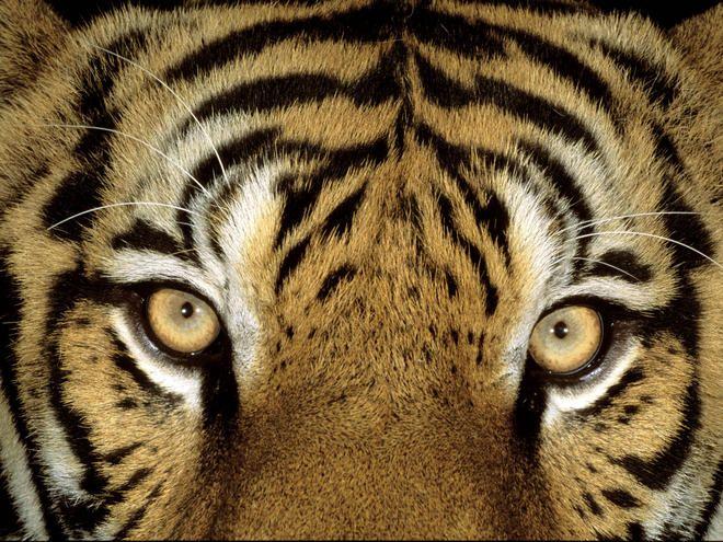 Tiger | Species | WWF