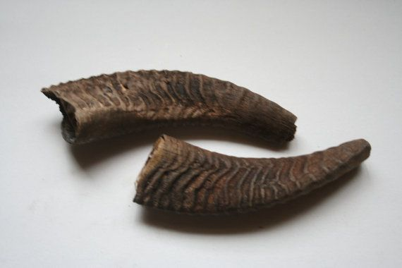 Ram horns from a Portuguese goat. Ends by DecadesOfFunkiness