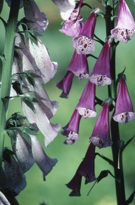 70 Best Digitalis Genus Images On Pinterest Perennials