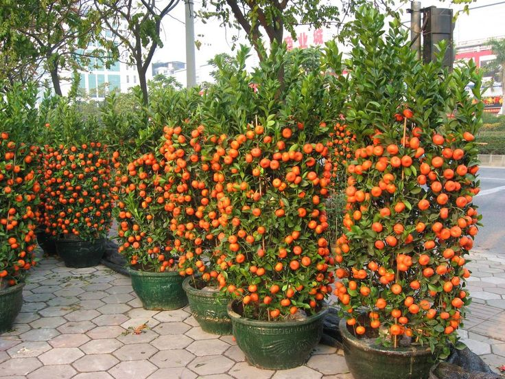 Learn how to grow tangerines in pots or even in your garden with our easy to follow gardening and planting guide and enjoy the fruits all season long!