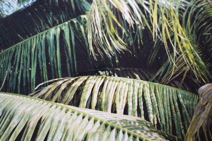 Florida Wholesale Plant NUrsery - Palm Leaf (FLorida Coconut Palms) Wholesale Coconut Palms #REalPalMTrees