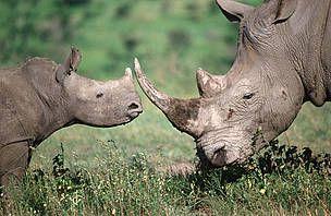 WWF España - 22 de Septiembre: Día Mundial del Rinoceronte WWF busca destruir la conexión Sudáfrica-Vietnam. En el Día Mundial del Rinoceronte, WWF ha reunido a representantes gubernamentales de Vietnam y Sudáfrica con el propósito de poner fin a la escalada de matanzas en el país africano. La creencia de que el cuerno de rinoceronte es un poderoso reconstituyente, así como un remedio milagroso contra el cáncer, ha disparado la demanda.