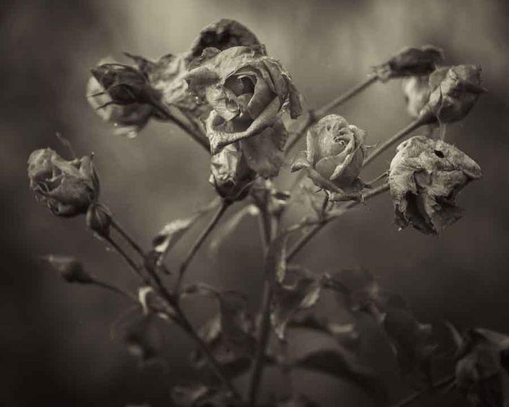 Fading glory. Roses making way for winter. Image©K Woodland/K Woodland Photography.