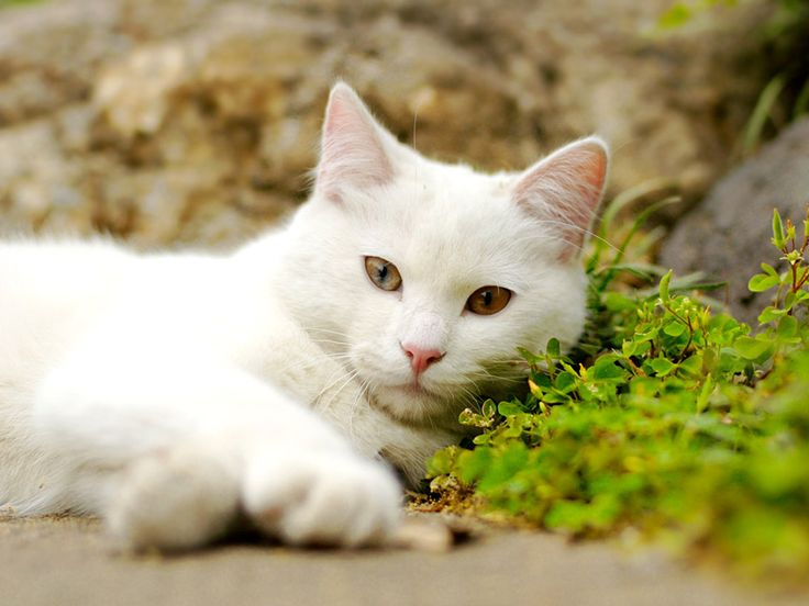 White Cat Lying