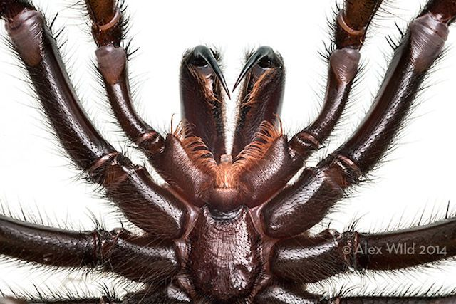 Entomologist and photographer Alex Wild shows you, step-by-step, how he captured this gorgeous (if a bit scary) macro photo of a Sydney Funnel-Web Spider's fangs. http://petapixel.com/2014/08/16/spider-fangs-arent-going-photograph/