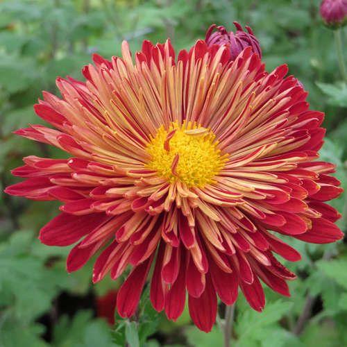 Herbstchrysantheme - Chrysanthemum indicum 'Brennpunkt'