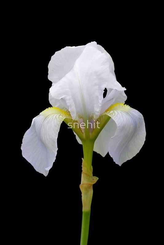 """Iris Flower"" by snehit | Redbubble"