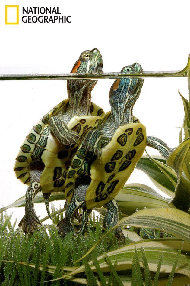2 red ear slider turtles