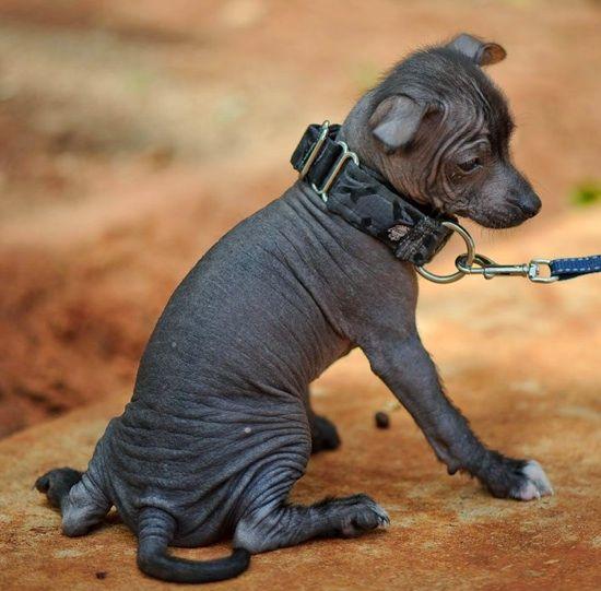 Toy Xoloitzcuintli Puppy - Mexican Hairless Dog - Wikipedia, the free encyclopedia