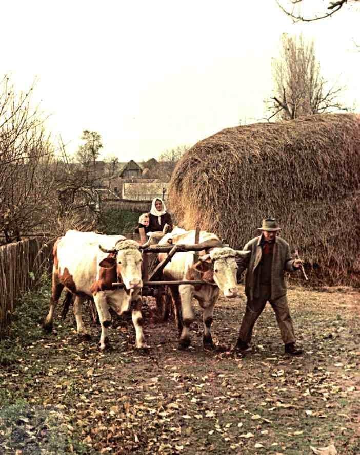 Volský záprah s vozom. Dolný Lopašov (okr. Piešťany), 1955, Archív negatívov Ústavu etnológie SAV v Bratislave. Foto: V: Törey
