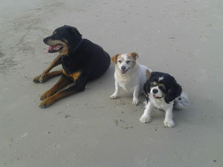 Marrawah Beach on a autumn's sunday arvo with max the rotty, ozzy adores maximus bigarse arses