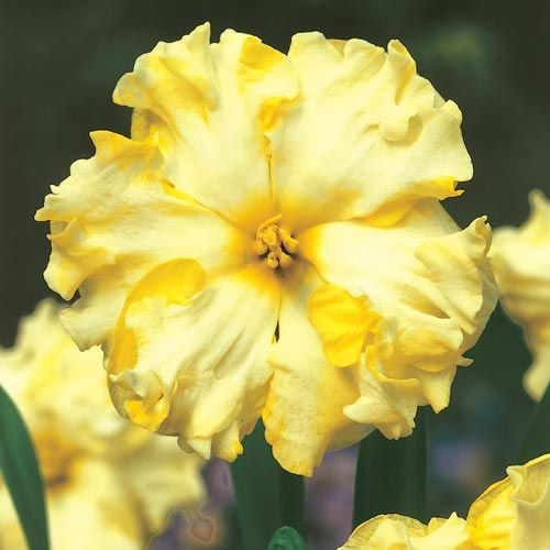 Best 1285 flowers daffodils narcissus images on pinterest moonlight serenade daffodil mightylinksfo