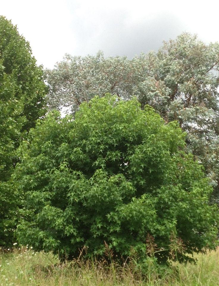 17 mejores im genes sobre rboles arbustos en pinterest - Arboles y arbustos ...