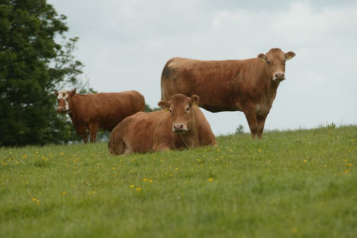 pictures of beef cattle and dairy cattle | Beef Cattle