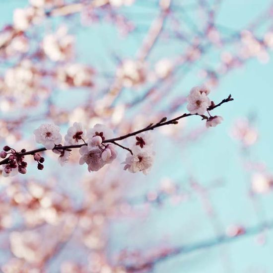 Checkout this amazing product Cherry Blossom Photography sakura botanical photo nature spring macro photograph pink blue sky teal wall art photography at Shopintoit