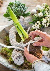 De #amaryllis heeft alles wat hij nodig heeft opgeslagen in zijn bol, dus hij kan prima zonder potgrond. #DIY #stappenplan #kerstdecoratie
