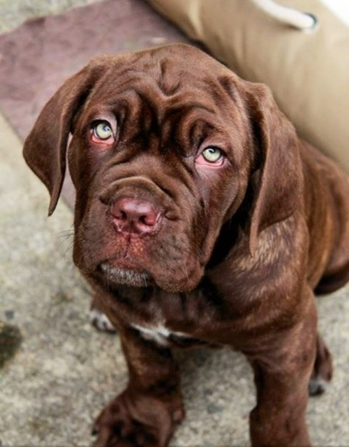 Bull Mastiff puppy, Oh my I miss Bentley!!!!
