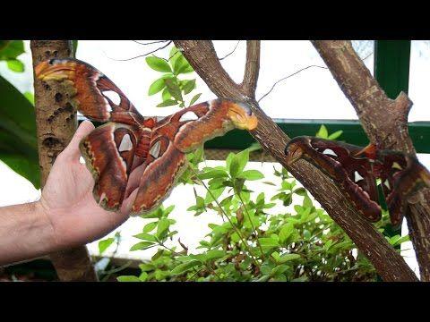 VIDEO:La mariposa más grande del mundo cría en Vigozoo desde hace una semana - Faro de Vigo