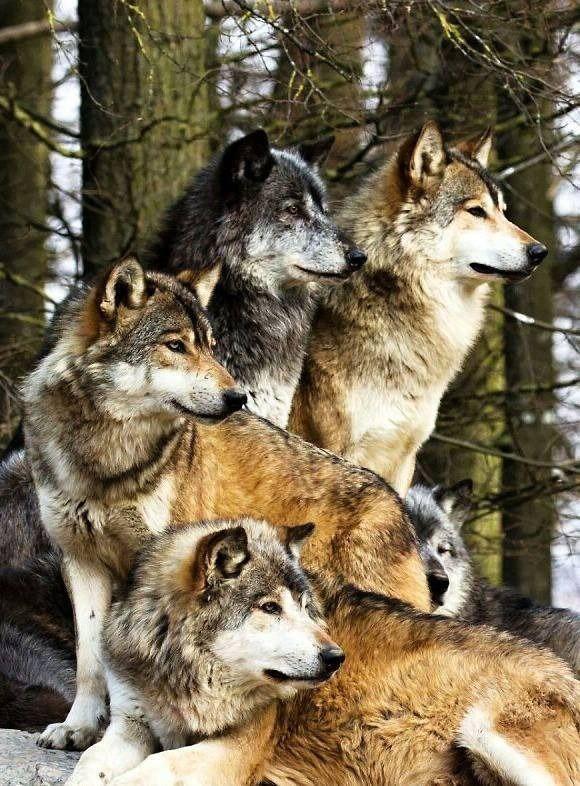 Wolf - Pixdaus