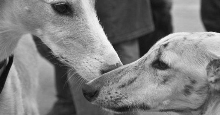 Hoy es el Día Mundial del Galgo y la Guardia Civil recibe unos consejos para acabar con el maltrato hacia estos perros:  #galgo #diamundialdelgalgo #galgos #animal #animales #mascota #mascotas #perro #perros #noticia #noticias #guardiacivil #maltratoanimal #schnauzi #policia