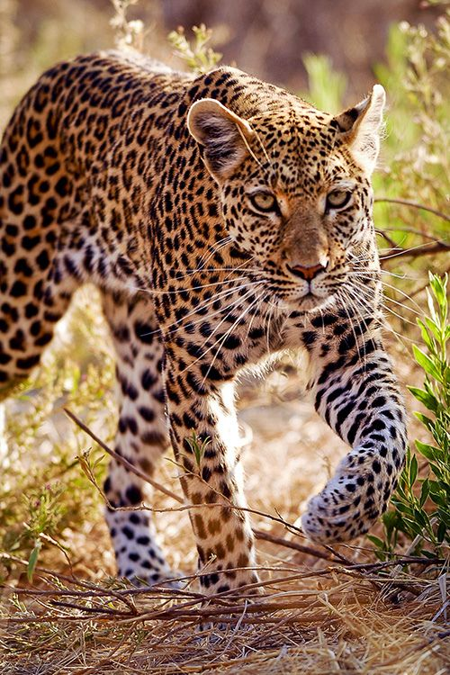 Hunting Leopard by Cameron Azad on Flickr.