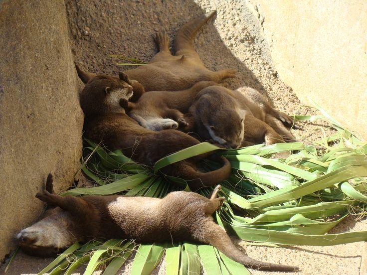 A bundle of sleeping otters. - Imgur