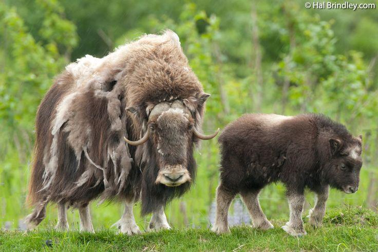 animals of nunavut