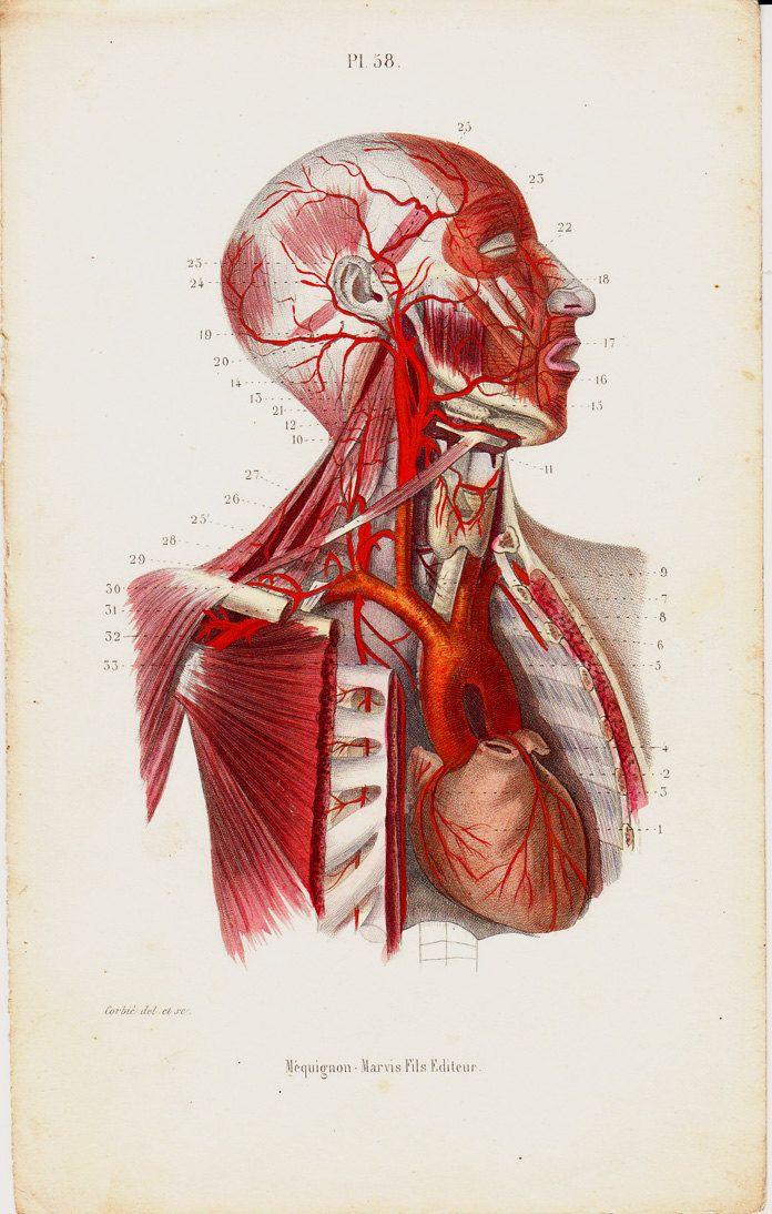 35 besten Anatomy Bilder auf Pinterest | Menschliche anatomie ...