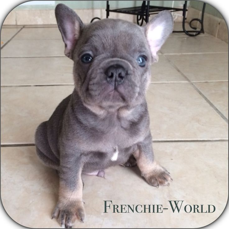 Incredible cuteness blue and tan French Bulldog