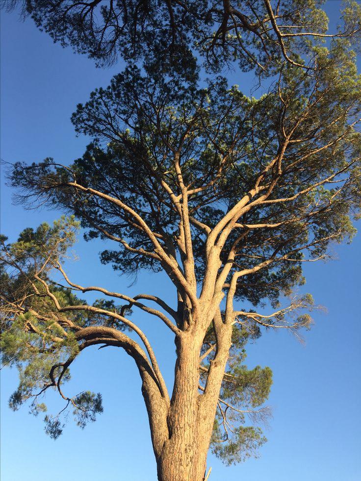Windswept tree, Stellenbosch.
