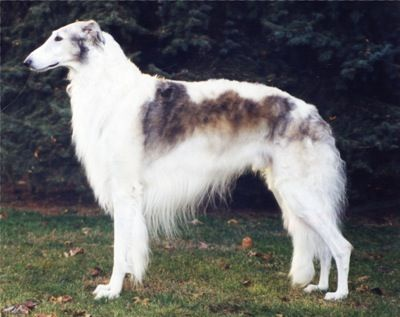 The Borzoi were created to hunt wolves, fox and hare over the open plains of Russia. The long, silky coat can be flat, wavy or curly and may be any color or combination of colors.  They were AKC recognized in 1891.They are at least 28 inches tall at the shoulder for males and 26 inches tall for females and weight: 60 to 105 pounds, depending on sex.