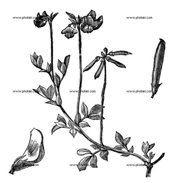 http://www.photaki.com/picture-birds-foot-trefoil-or-lotus-corniculatus-vintage-engraving_1330141.htm