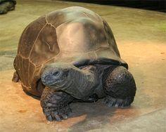 ♥ Pet Turtle ♥  Aldabra Tortoise.