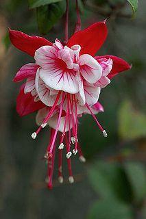 Flower of Fuchsia plant