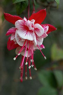 Flower of Fuchsia plant So Beautiful!!!!