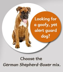 Fact about German Shepherd-Boxer mix breed