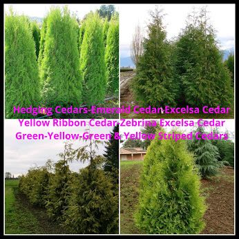 Hedging Cedars Emerald Cedars, Excelsa Cedars Vanocouver & Fraser Valley