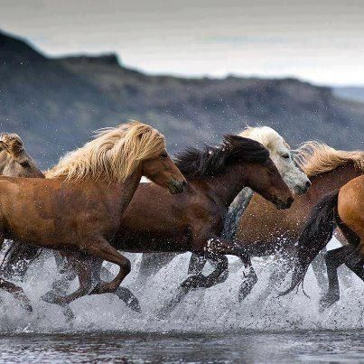 Band of Wild Mustangs in Motion as They Run the Stream.
