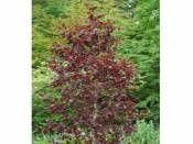 Ters huş kırmızı yapraklı Betula pendula Purpurea 80-100  http://www.fidanistanbul.com/urun/2092_ters-hus-kirmizi-yaprakli-betula-pendula-purpurea-80-100-cm.html