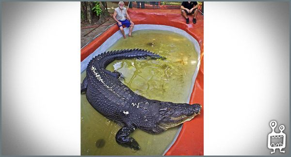 Gustave is a large male Nile crocodile living in Burundi. In 2004 he was estimated to be 60 years old, 20 feet (6.1 m) in length and to weigh around 1 ton, making him the largest confirmed crocodile ever seen in Africa. He is a notorious man-eater, who is rumoured to have claimed as many as 300 humans from the banks of the Ruzizi River and the northern shores of Lake Tanganyika. Though that number is difficult to prove, Gustave has attained a near-mythical status and is greatly feared by…