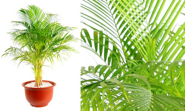Palmeira arecaUma das palmeiras mais populares e versáteis, a Areca fica bem em jardins, cercas-vivas ou vasos, em ambientes internos. Pode crescer exposta diretamente ao sol, mas suas folhas ficam mais vistosas quando é cultivada à meia sombra. Deve ser regada regularmente e não deve ficar em ambientes com ar-condicionado. Nome cientifico: Dypsis lutescens